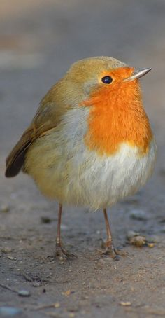 cute birds Picture of a cute robin. Kinds Of Birds, All Birds, Cute Birds, Pretty Birds, Little Birds, Beautiful Birds, Animals Beautiful, Robin Vogel, Animals And Pets