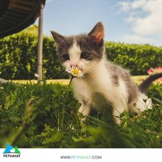 Cute Kittens kitten kitty little looking mammal outdoors pet portrait sit smell smelling tabby whiskers young royalty free images Cute Kittens, Cool Cats, Coco Chat, Chat Maine Coon, Baby Animals, Cute Animals, Cat Exercise, Cat Allergies, Cat Background