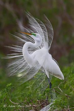 Wild Life With Amazing Nature -       The Great Egret, also known as Great White Egret, Common Egret, Large Egret or Great White Heron, is a large, widely-distributed egret. Pretty Birds, Beautiful Birds, Animals Beautiful, Exotic Birds, Colorful Birds, All Birds, Love Birds, Animals And Pets, Cute Animals