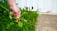 6 Ways You Can Remove Weeds From Your Lawn