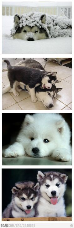 Huskies and Malamutes! We will have one of the babies one day!