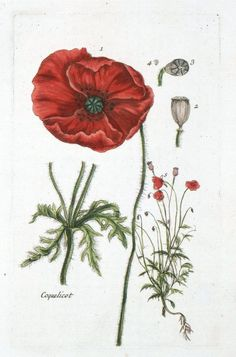 Botanical - La Flore Des Environs De Paris -  (16) Botanical - La Flore Des Environs De Paris - (16)  Vintage French Botanical, pre-Revolution. Flore des Environs de Paris, 1776; Bulliard. Scan of 2 d image in the public domain believed to be free to use without restriction in the US.
