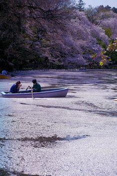 pond of cherry petal, Japan
