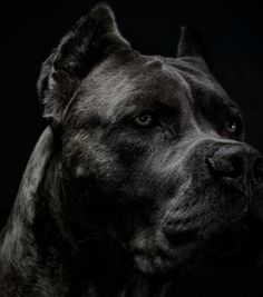 If you want to know the latest names or ideas that you can name to your American Bully and Pitbull, Here are the Updated list of names you can use to your dogs. Cane Corso Mastiff, Chien Cane Corso, Cane Corso Dog, Dobermann Tattoo, Education Canine, Bully Dog, Dogs Pitbull, War Dogs, Beautiful Dogs