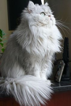 Persian - The Persian is perhaps the most widely recognized cat breed, known for its extremely long, fluffy coat, very stocky body type, large eyes, and flat face. Persians are available in a myriad of colors and patterns including the pointed pattern called Himalayan.