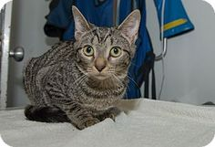 Chelsea is a pretty brown tabby at Humane Society of New York.