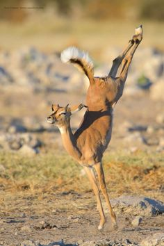 A young Impala jumps for joy in the late afternoon light in the Etosha National Park in Namibia