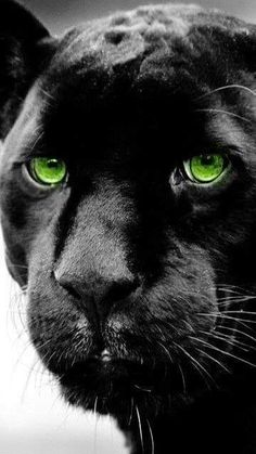 Panther with beautiful green eyes Most Beautiful Animals, Majestic Animals, Beautiful Cats, Big Cats, Cool Cats, Cats And Kittens, Wild Animals Pictures, Animal Pictures, Black Panther Cat