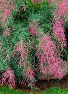 180 best shrubs trees images on pinterest garden shrubs summer glow tamarisk sheridan nurseries cool looking feathery flowering shrub mightylinksfo