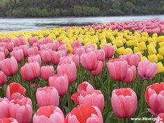 """Когда расцветают тюльпаны... (в плеере - Enya - """"Only time""""). Обсуждение на LiveInternet - Российский Сервис Онлайн-Дневников"""