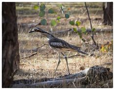 Herbie (B0) released in 2014 - my first sighting of this bird. He was all alone.