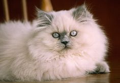 CAT 03 GR0351 01 © Kimball Stock Blue Point Himalayan Laying On Wooden Chair