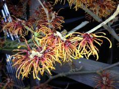 Winter Blooms Abound - Witch Hazel