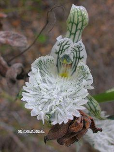 Chloraea prodigiosa- flor Unusual Flowers, Beautiful Flower Arrangements, Types Of Flowers, Amazing Flowers, Love Flowers, Weird Plants, Unusual Plants, Cool Plants, Cacti And Succulents