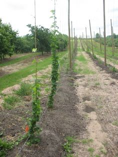 Hope to learn something from my Alma Mater in this guide to growing hops! Beer Brewing, Home Brewing, Garden Tips, Garden Ideas, Beer Cellar, Great Lakes Region, How To Make Beer, Northern Michigan, Alma Mater