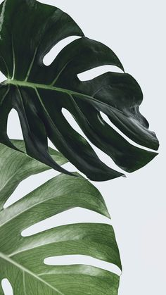 Download free image of Monstera plant leaf wall art by Jira about wallpaper, iphone wallpaper, leaves, art, and aesthetic 2259878
