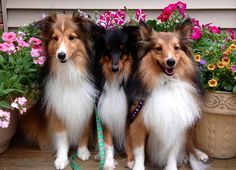 Pretty Shelties #shelties