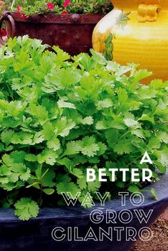 As we start growing cilantro from seeds, it is a lengthy and time taking process and needs to be done with proper care. How To Harvest Cilantro, Cilantro Plant, How To Grow Cilantro, Cilantro Growing, Coriander Cilantro, Home Vegetable Garden, Fruit Garden, Edible Garden, Garden Pots
