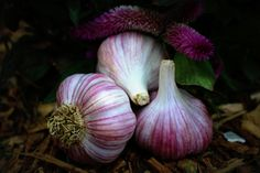 Deerfield Purple (Hardneck) - A 5-star garlic for its uniformity, size and flavor. Bulky heads are covered in thin, white wrappers that are streaked with purple. Rich garlic flavor that starts out mild and finishes with a spicy kick. Approx.7-10 cloves per bulb.