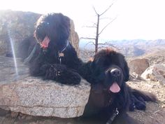 Black Russian Terrier and Newfoundland