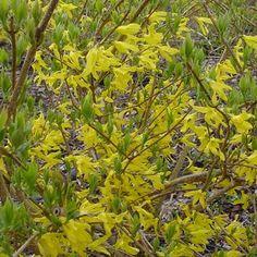 Forsythia x intermedia 'New Hampshire Gold' (New Hampshire Gold Forsythia)