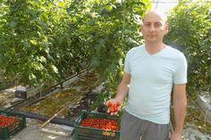"""""""Hrănirea"""" roșiilor este extrem de importantă având în vedere că acest pas duce la odezvoltare armonioasă a plantelor şi implicit la un rog bogat. În cazul hrănirii trebuie ştiut că,"""