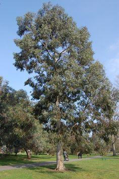 Eucalyptus perriniana
