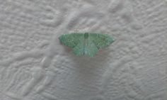 awesome green moth , ceiling Westwood Ave Ipswich