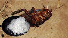 Nuevo método casero para desaparecer todas las cucarachas de tu hogar para siempre