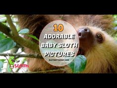 10 Most Adorable Baby Sloth Pictures From Around The Web. Cute Baby sloth pictures that were found on many places around the web, made Baby Sloth Pictures Video Baby Sloth Pictures, Pictures Of Sloths, Mom Pictures, Animal Pictures, Cute Baby Sloths, Cute Baby Animals, Grumpy Baby, Baby Images, Baby Kittens