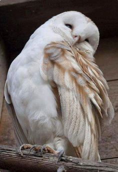 Pretty Barn Owl (Tyto alba) preening its wing feathers. This species has such delicate, intricate markings.