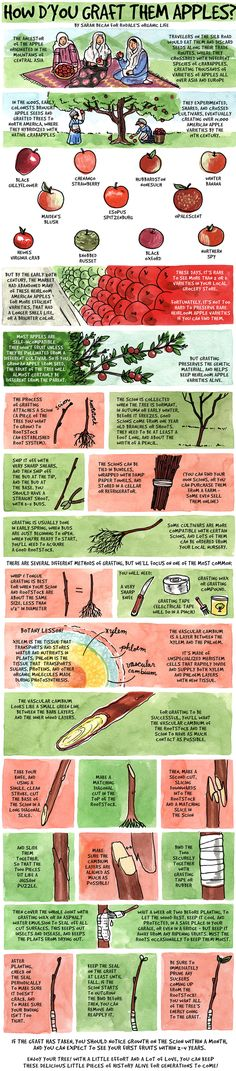 Organic Gardening Ideas - Grafting is easier than you think—all you need is a knife, tape, wax, and this quick refresher in botany Grafting Fruit Trees, Grafting Plants, Plant Propagation, Fruit Garden, Garden Plants, Vegetables Garden, Farm Gardens, Outdoor Gardens, Veggie Gardens