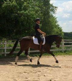 Giselle- a 3rd Level, Oldenburg mare