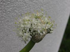 A flor da cebola ®SKLindemann