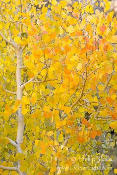 Yellow and orange from beautiful Aspen trees in the fall