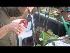Cuidados de una Orquídea (Phalaenopsis) - YouTube