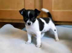 Teacup Chihuahua - looks like a Jack Russel mix Teacup Chihuahua, Chihuahua Mix Puppies, White Puppies, Dogs And Puppies, Doggies, Teacup Chiwawa, Jack Russell Terriers, Sweet Dogs, Softies