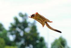 Kingdom Animalia, Sugar Glider (Petaurus breviceps) (by shikhei goh) Sugar Glider Baby, Rabbit Cages, Exotic Fish, Horse Care, Science And Nature, Outdoor Travel, Pet Birds, Animal Kingdom, Animaux