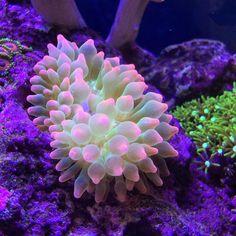 bubble tip anemone - salt water fish tank Saltwater Tank, Saltwater Aquarium, Aquarium Fish, Coral Reef Aquarium, Marine Aquarium, Bubble Tip Anemone, Beautiful Sea Creatures, Salt Water Fish, Sea Anemone