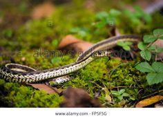 Download this stock image: Garter Snake - FP5F5G from Alamy's library of millions of high resolution stock photos, illustrations and vectors.