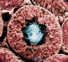 Cell biology-Cross section of a human testis tubule filled with sperm. SEM X363.