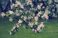 "Blossoming Spring Garden Blossoming Garden, Apple Tree in Spring Garden. From ""Blossom"" art photo prints collection."
