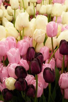 Tulips.......