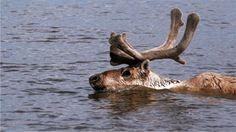 World's most: World's largest reindeer herd plummets - BBC News