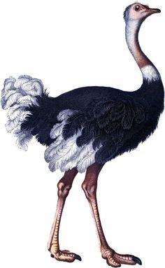 gorgeous ostrich