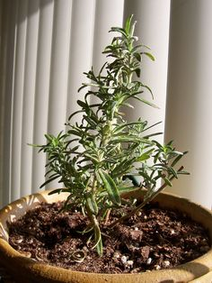 Growing rosemary indoors is sometimes a tricky thing to do. But, if you know the secrets to proper care of rosemary plants growing inside, you can keep your plants happy indoors all winter long. Learn more here.
