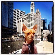 Chihuahua in Chicago