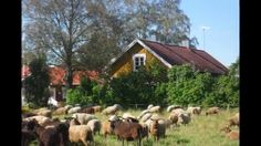 The Rintala Sheep Farm in Finland. Discovered this great sheep farm in March 2015 at the Crafts Fair in Turku, Finland. Producer of the most awesome Finnsheep yarns, also producer of the rare ancient Finnish sheep breed Kainuu Harmaa, one of the softest Scandinavian wools, nearly as soft as merino! Ravintolalaiva Cindy esittää - Rintalan luomutila