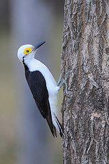 Melanerpes candidus. White Woodpecker
