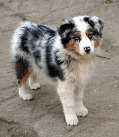 Australian Shepherd Dog Breed Information, Beliebte Bilder - Hunde Bilder - Animals Australian Shepherd Puppies, Aussie Puppies, Cute Dogs And Puppies, Baby Dogs, Doggies, Blue Merle Australian Shepherd, Mini Australian Shepherds, Miniture Australian Shepard, Aussie Shepherd Puppy